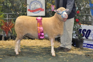 Serena did it again. Champion Ewe at the Australasian Dorset Championships in Bendigo 2016